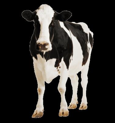 молочна ферма молоко вітчизни