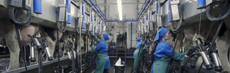 доїльний зал молочна ферма молоко вітчизни